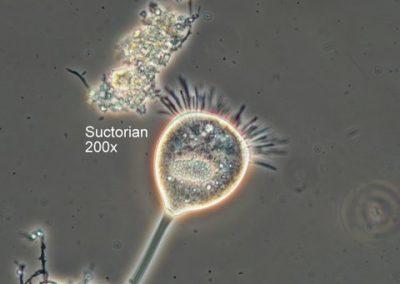 Suctorian 200x